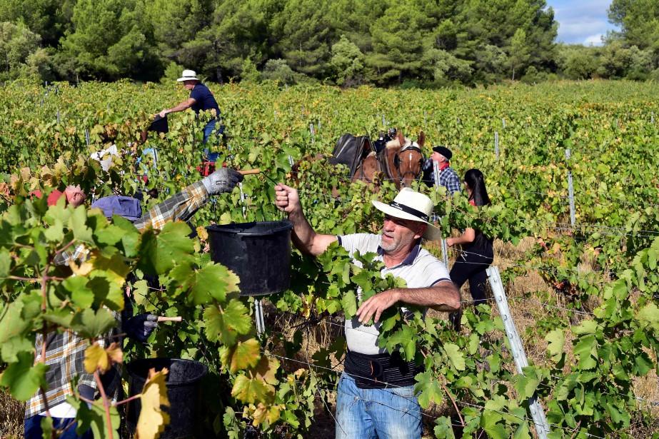 La vigne français va produire encore plus que... (Photo PASCAL PAVANI, archives AFP)