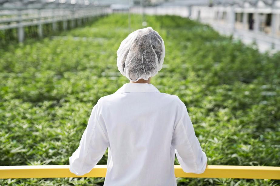 Le producteur de cannabis autorisé... (Photo archives La Presse canadienne)