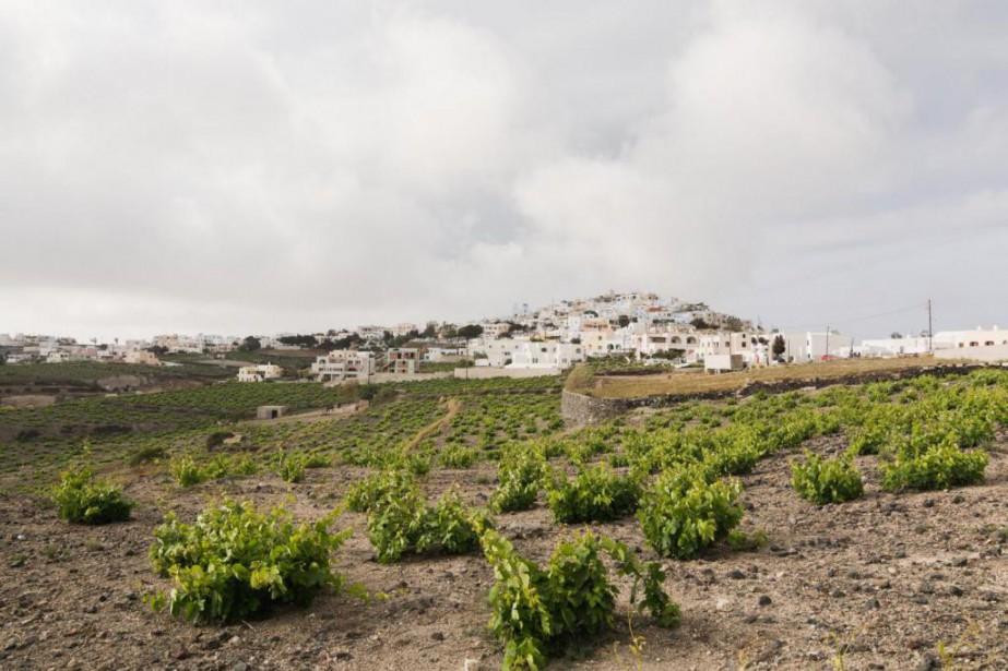 Viticulture dans l'île de Santorin, en Grèce... (Photo Thinkstock)