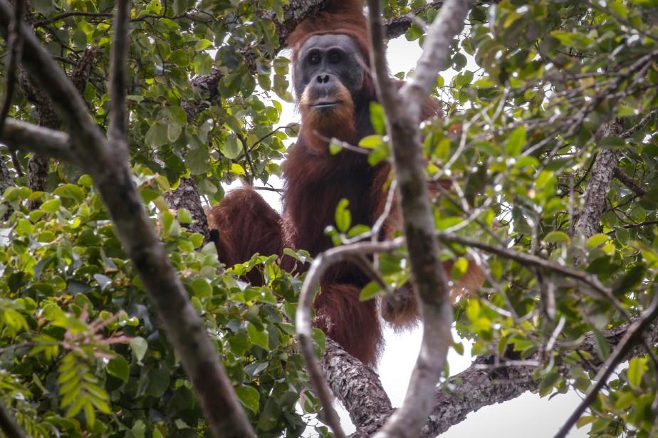 Ces orangs-outans de Tapanuli ressemblent à leurs cousins... (Photo Nanang Sujana, AFP)