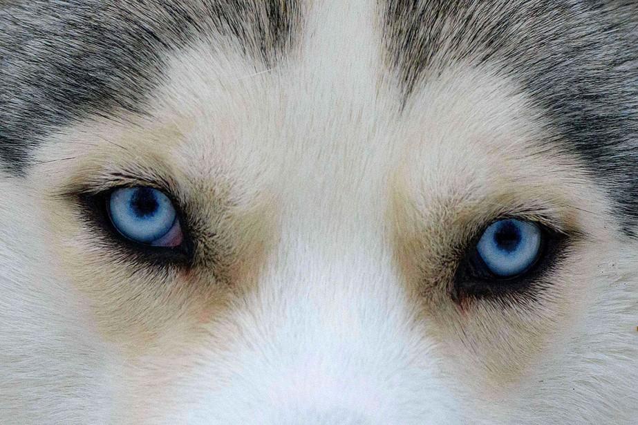 Sur cette photo, les yeux d'un chien husky... (Photo MLADEN ANTONOV, archives AFP)