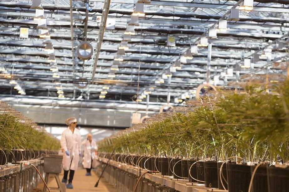 Sur cette photo, du cannabis médical cultivé dans... (IVANOH DEMERS, ARCHIVES LA PRESSE)