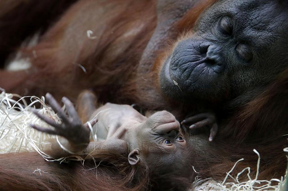 L'orang-outan Theodora et son bébé, petit femelle nommée... (Photo PHILIPPE WOJAZER, REUTERS)
