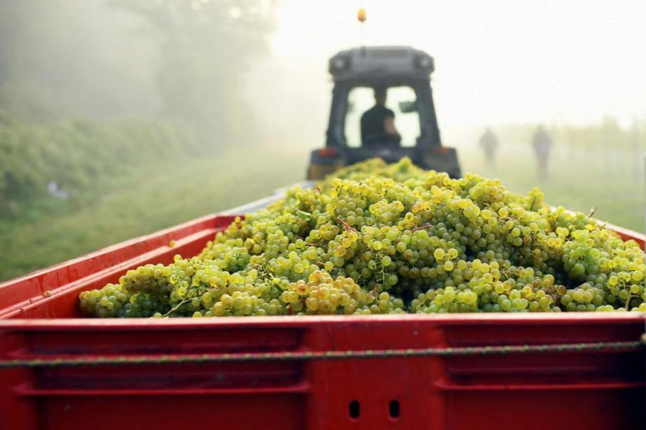 La récolte s'annonce comme l'une des plus abondantes... (PhotoDylan Martinez, Reuters)