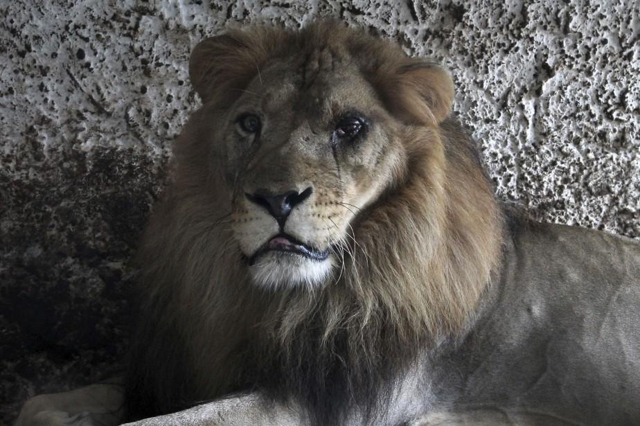 «Lensi [l'un des trois lions] avait une infection... (Photo Llazar Semini, AP)