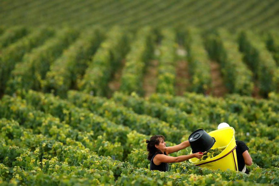 Le vignoble de Chablis compte plus de 5500... (photo Christian Hartmann, archives reuters)