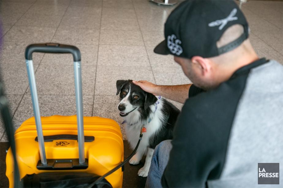 La Brigade câline a fait ses débuts dans le cadre d'un projet-pilote, mais l'enthousiasme des passagers a été tel qu'elle a reçu le feu vert des autorités aéroportuaires. «La brigade est constituée d'une trentaine de bénévoles et leurs chiens, a expliqué Anne-Sophie Hamel, directrice des affaires corporatives à Aéroports de Montréal. Les chiens vont être présents surtout pendant les périodes de pointe et la fin de semaine, principalement en zone sécurisée.» (PHOTO DAVID BOILY, LA PRESSE)