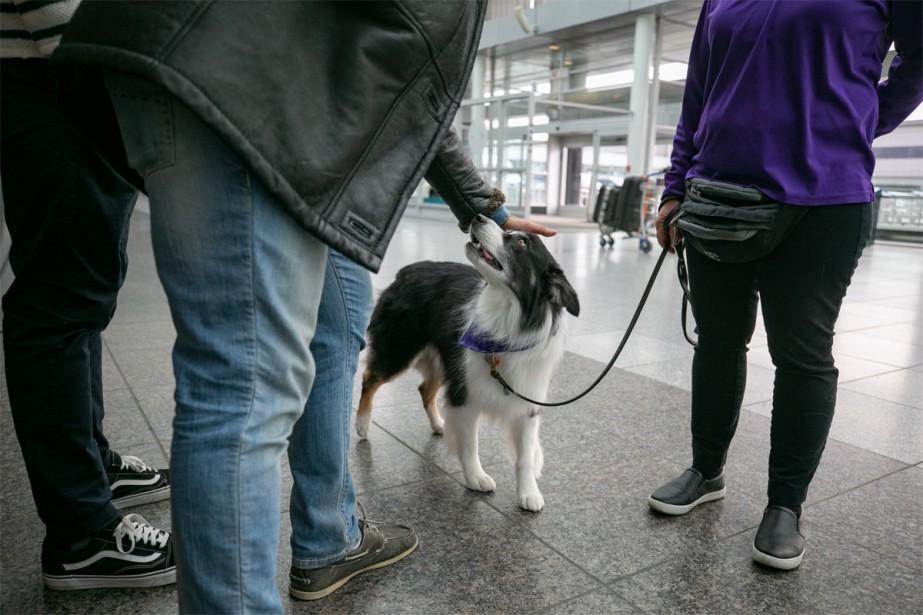 En plus de s'être inspirée de ce qui se fait ailleurs, Aéroports de Montréal a aussi été à l'écoute des voyageurs. «C'est une demande qu'on avait aussi des passagers, a soutenu Anne-Sophie Hamel. On voyait l'engouement suscité par notre escouade canine, mais malheureusement, ces chiens ne peuvent pas interagir avec le public parce qu'ils sont en fonction. (Photo David Boily, La Presse)