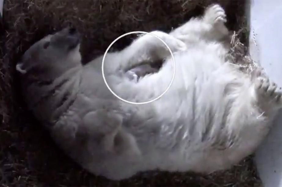 Le bébé ours, dont le sexe ne sera... (Photo tirée d'une vidéo partagée par le Zoo Saint-Félicien sur Twitter, @zoostfelicien)