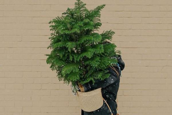 Le pin de Norfolk (Photo tirée du compte Instagram d'Atelier Fleur MTL)