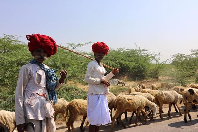Deux nomades de la caste des Rebaris - reconnaissables à leurs moustaches - s'occupant des moutons et des chameaux.  | 6 décembre 2018