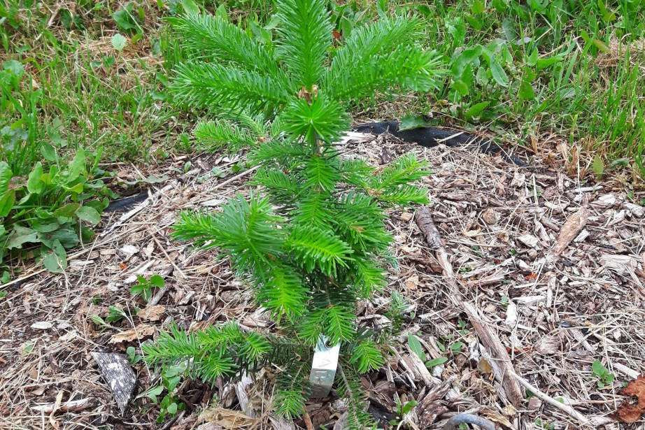 Les arbres SMART seront bientôt produits en série... (PHOTO PC)