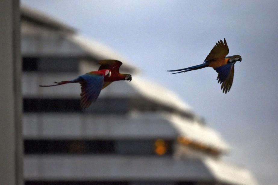 L'espèce Ara araurana, au plumage bleu et jaune,... (Photo YURI CORTEZ, AFP)