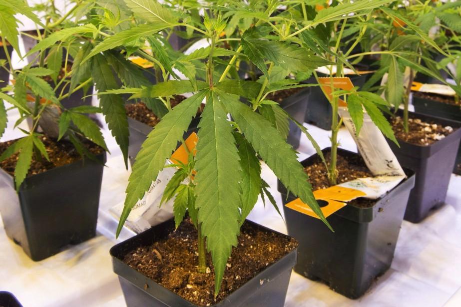 Aurora Cannabis a indiqué... (Photo Ryan Remiorz, archives la presse canadienne)