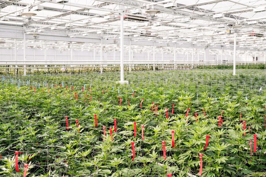 Une serre du producteur de cannabis Aphria... (Photo archives La Presse canadienne)