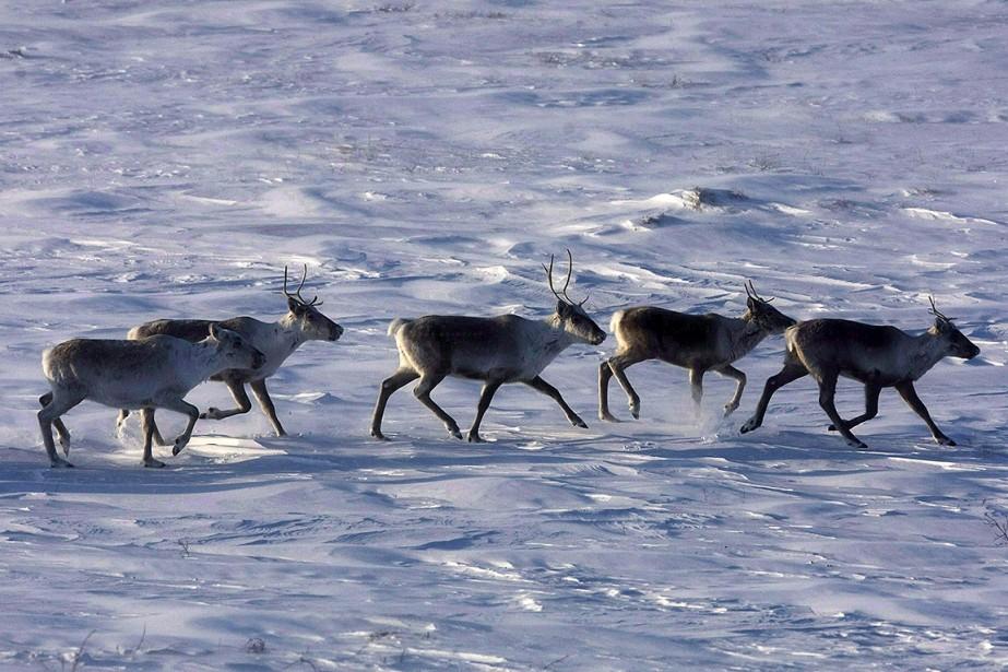 Des caribous errent dans la toundra du Nunavut,... (Photo NATHAN DENETTE, archives La Presse canadienne)