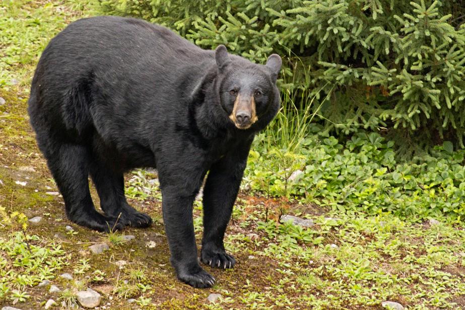 Les ours noirs ont besoin de se nourrir de... (PHOTO DAVID BOILY, LA PRESSE)