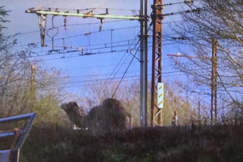 Le dromadaire, échappé d'un cirque voisin selon la... (Photo tirée du compte Twitter @ligneR_SNCF)