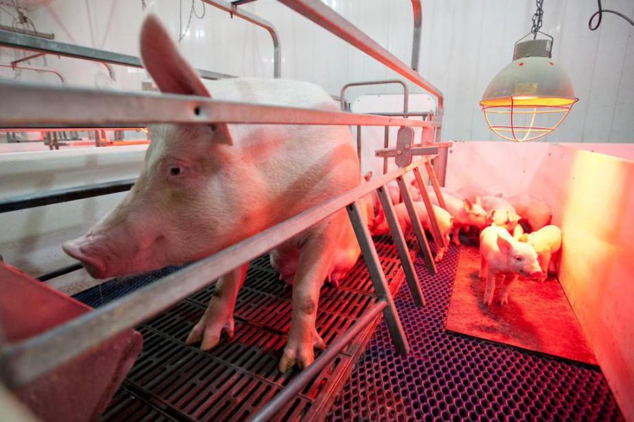 La peste porcine africaine cause des hémorragies chez... (Photo Hugo-Sébastien AUBERT, archives La Presse)