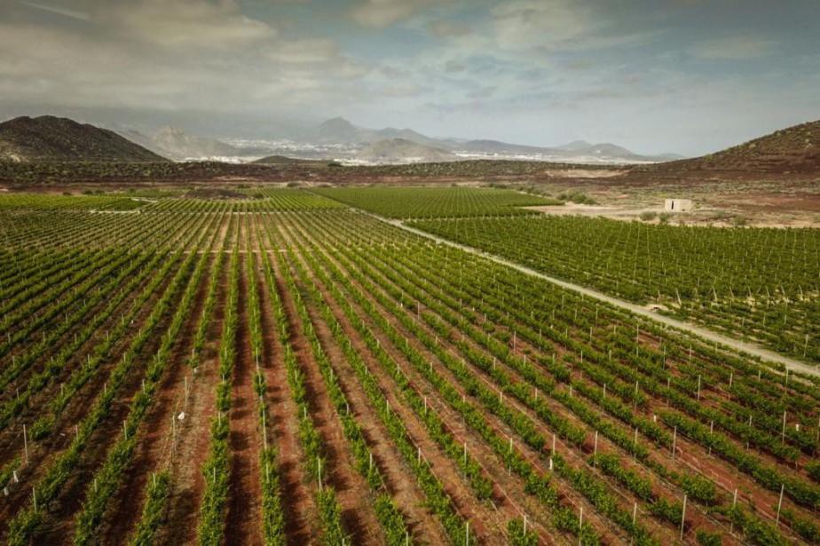 Des vignobles à Tenerife, dans l'archipel des Canaries... (Photo Getty Images)