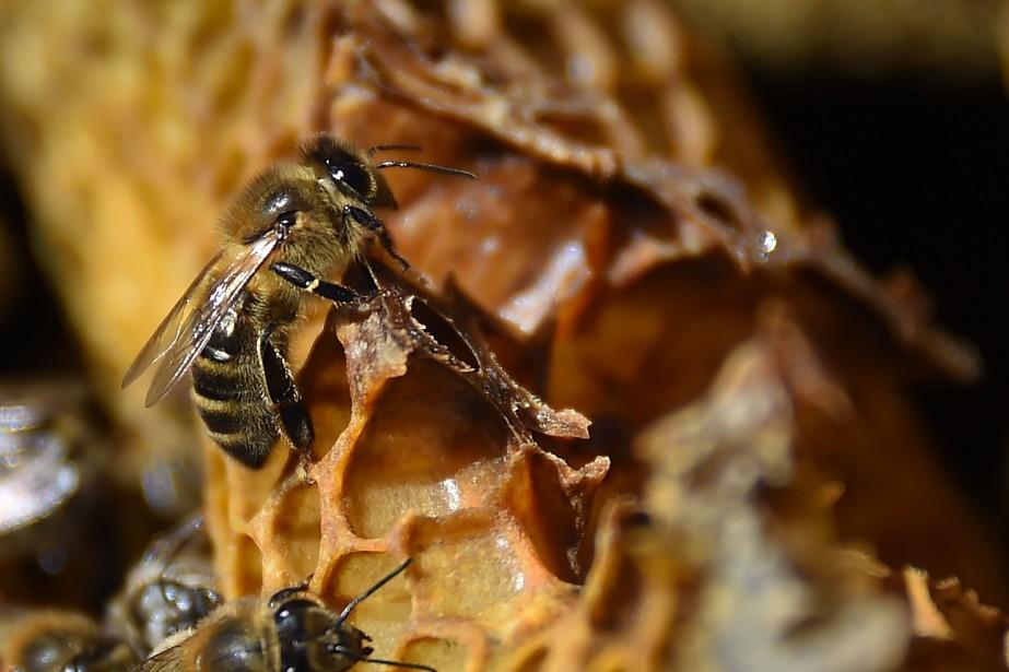Près de la moitié des espèces d'insectes, essentiels... (Photo SYLVAINTHOMAS, AFP)
