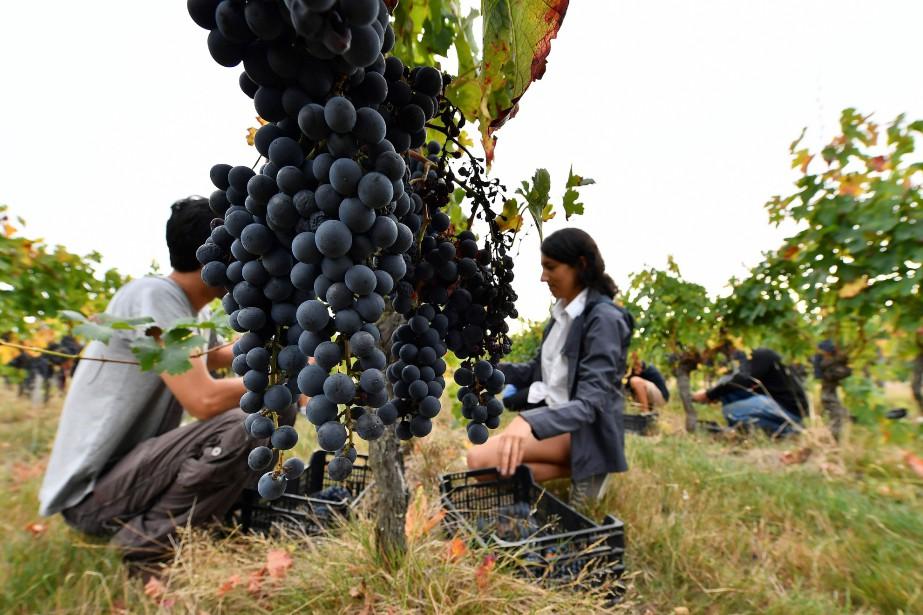 Des vignes près de Bordeaux... (PHOTO GEORGES GOBET, ARCHIVES AFP)
