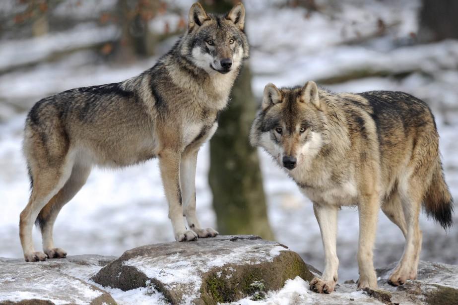 Le retour du loup est facilité par le... (PHOTO AFP)