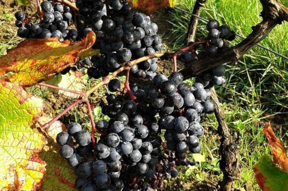 Des raisins... bretons, chez les vignerons de Garo... (PHOTO TIRÉE DU SITE DES VIGNERONS DE GARO)