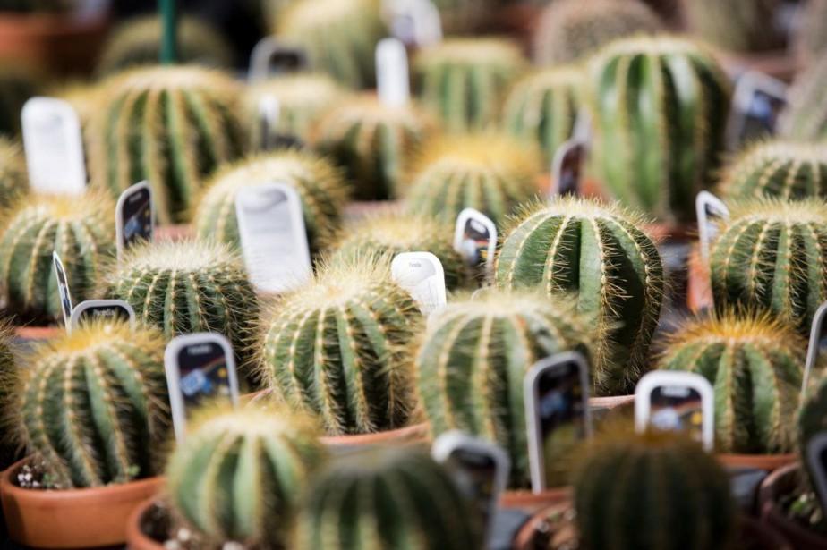 L'attrait pour les cactus miniatures est de plus... (PHOTO FRANÇOIS ROY, ARCHIVES LA PRESSE)