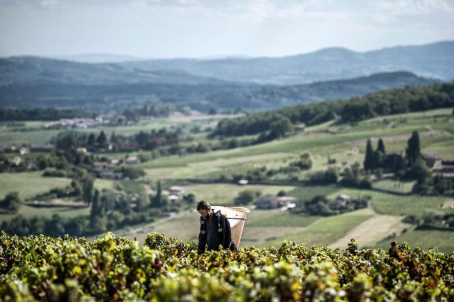 Récolte de gamay au domaine Marquis de Montmelas... (PHOTO JEFF PACHOUD, ARCHIVES AGENCE FRANCE-PRESSE)