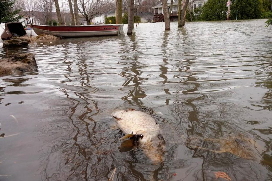 Une carpe morte repose dans les eaux de... (PHOTO BERNARD BRAULT, LA PRESSE)